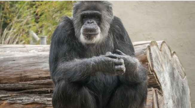 Cobby, the oldest captive chimpanzee in the United States, dies
